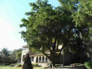 The nation's largest black olive tree stands in front of the stone house at the Deering Estate, which is part of Miami-Dade's park system.