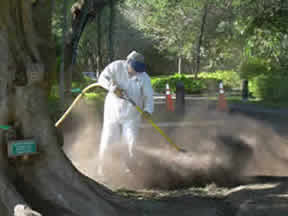 Jorge Rivera uses an Air Spade to loosen the compacted soil caused by years of foot traffic around the tree. Then compost was added and mixed into the soil with the Air Spade.