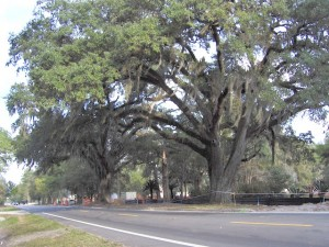 The specimen Governor's Oaks were declared off limits and protected by Governor Martinez after attempts were made to widen the road and remove the trees.