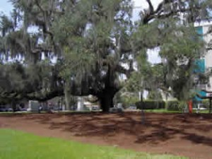 The turf beneath the Maltby Oak canopy was smothered (killed) by covering it with a 3-inch layer of organic mulch that will improve soil conditions and add nutrients for the Maltby as it slowly decomposes