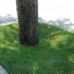When a tree's root flare is not visible, that means the root flare has been covered by fill soil. This can cause a series of problems for the tree.