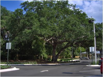This 60-inch DBH live oak was preserved during construction in 2005 and is still healthy and structurally sound in 2013. Prior to designing the parking lot and travel lane near the tree, an Air Spade was used to locate the major lateeral roots. That way the root layout was incorporated into the early design stage.