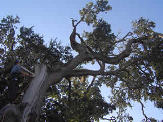 Another historic tree on Daytona Beach City Hall grounds was hit by lightning in 2008 and suffered some damage. Two local arborists called for its removal. Lippi, Meilleur and three other consulting arborists intervened saying the tree could be saved.