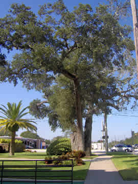 The historic Thoburn Oak has been here before Daytona Beach was settled and was now facing removal.