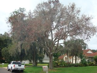This live oak tree was killed by a lightning strike. Although many live oaks survive a lightning strike with some damage, some do not survive. Pine trees and palm trees rarely survive a lightning strike.