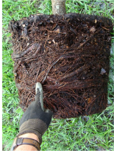 When you take the tree out of its container, you should not see circling roots on the outer edge of the rootball. Circling roots continue to grow in a circle even after the tree has been planted into the landscape.