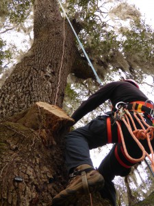 A copper cable must be attached as high in the tree as possible and extend down the trunk to the soil where it is buried and extends well outside the root plate to am 8-ft grounding rod.