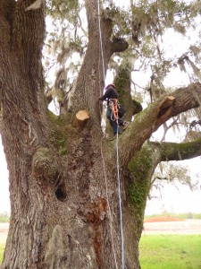 Large sprawling trees like this 100-inch DBH live oak require several copper leads.