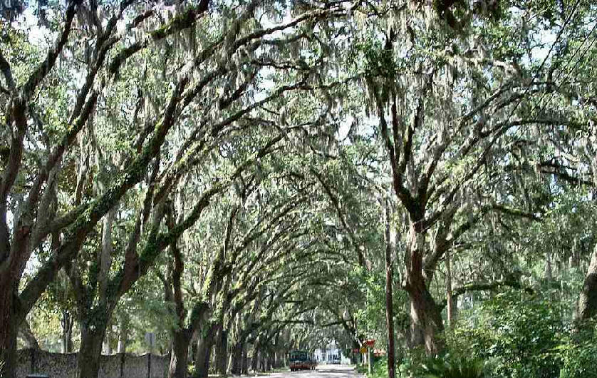 Beautiful but mis-named Magnolia Avenue, St. Augustine's most photographed and impressive street. The 60 live oaks that are between 80 and 100 years old form a canopy over the street. Photo courtesy of Lydia Williams (lwilliams@se.rr.com)