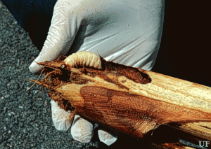 The palmetto weevil pupal stage is large, about the size of your thumb. Even if the grub cannot be found, its large tunnels can be found at the base of fronds that have collapsed. (Photo from University of Florida files)