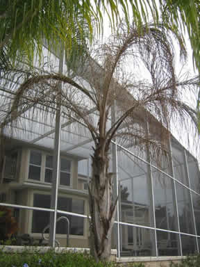A queen palm killed by fusarium wilt fungus looks like it has been freeze dried. Affected fronds do not droop.