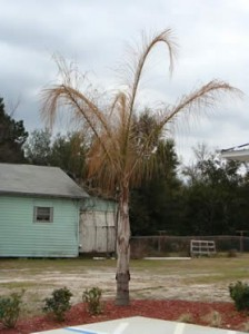 It can be difficult to distinguish between fusarium wilt death and cold damage on queen palms. The above tree was damaged and possibly killed by extended temperatures in the mid-20's in north Florida.