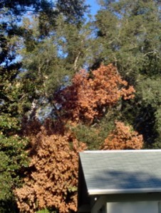Laurel wilt causes the leaves to die and turn a rusty red color.