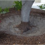 When done properly, excess fill is removed and the tree and exposed root crown should look like this.