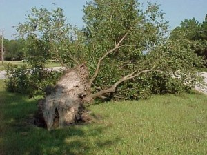 A laurel oak blew over in Hurricane Floyd because its roots did not grow out of the wire basket and synthetic burlap wrap to provide lateral support against the wind.