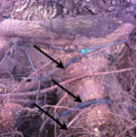 More rope and wire basket girdling on this root.