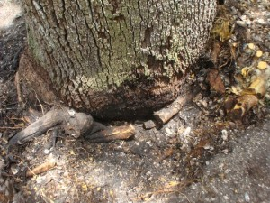 The soapberry roots completely encircled the live oak trunk at three levels.