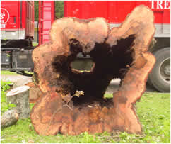 A hollow laurel oak trunk. Sometimes there is no visible cavity.