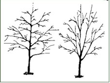 Florida Grades and Standards require that a Florida Number 1 grade tree has a single central leader like the tree on the left. The tree on the right is a Florida Number 2 grade tree. Drawing by Dr. Ed Gilman, University of Florida Environmental Horticulture Professor.
