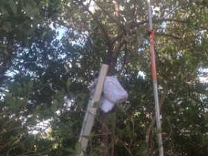 While trimming, it is important to have a measuring rod nearby to assure that mangrove height is not reduced more than permitted. Notice the towel between the ladder rung and the mangrove trunk to protect the bark and cambium from abrasion damage from the ladder.