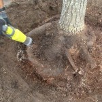 Large circling roots had to be cut to allow new growth into the surrounding soil.