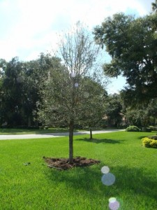This live oak had been planted seven months earlier in March and had not grown in spite of a summer of abundant rainfall and regular irrigation. The tree had nursery-induced root defects that caused drought stress and upper branch dieback.